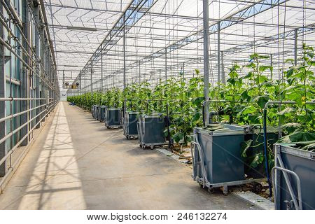 Filled Harvest Carts In The Gangway Of A Dutch Glasshouse Horticultural Industry Specialized In Orga