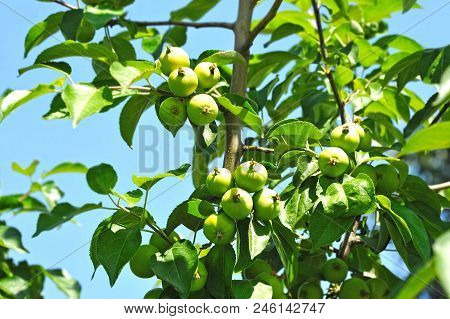 Green Apple On The Branch Of Tree