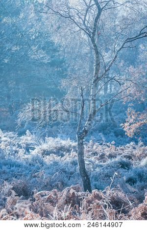 A Silver Birch tree covered in hoar frost on a very cold winter morning