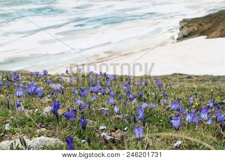 Purple Flowers And Green Grass In The Foreground Against The Ice Lake And Snow, Kabardino-balkaria