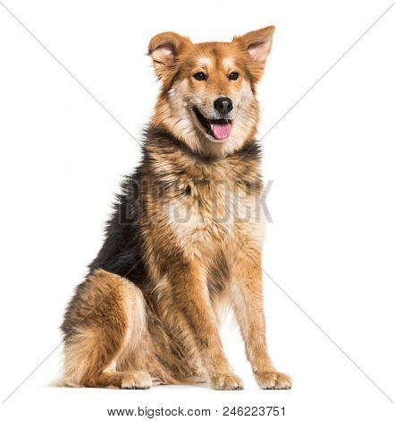 Mixed-breed dog, 8 years old, sitting against white background