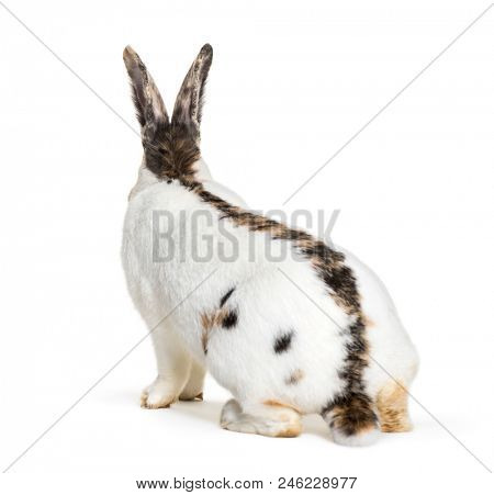 Checkered Giant rabbit is a breed of domestic rabbit that originated in Germany, sitting against white background