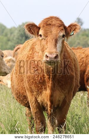 A very inquisitive cow in a field leaves the herd and comes to investigate . poster
