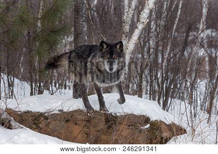 Black Phase Grey Wolf (canis Lupus) Starts To Jump Off Rock - Captive Animal