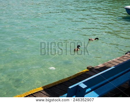 Little Ducks Swin In The Lake Of Annecy, France