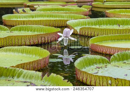 Giant water lily in tropical garden. Island Mauritius . Victoria amazonica, Victoria regia flower, close up poster