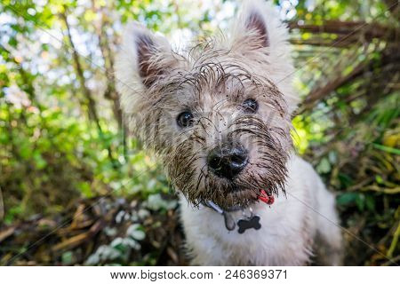 Dirty West Highland Terrier Westie Dog With Muddy Face Outdoors In Nature - Portrait Of Head With Sh