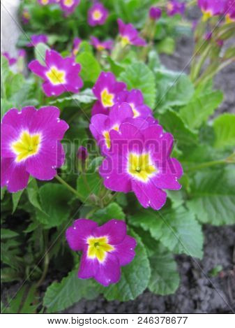 Lavender-colored Primroses Close Up. Primrose Blooms Profusely In Spring.