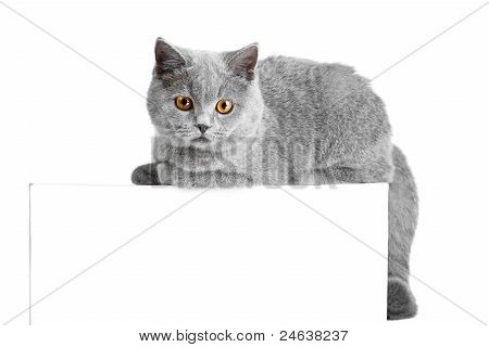 Studio portrait of beautiful young British blue cat lying on tablet with space for your text poster