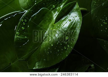 Fresh Leaf Texture Or Leaf Background For Design. Abstract Green Leaf Texture Or Leaf Background.
