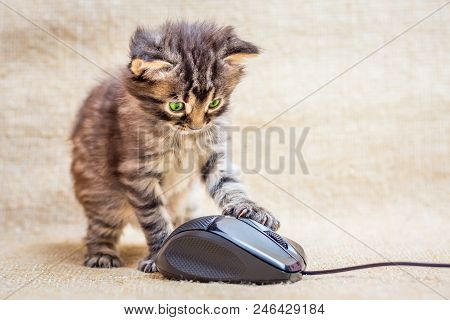 A Little Striped Kitten Is Played With A Computer Mouse. A Skilled Computer Specialist. Work In The