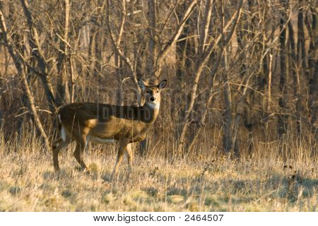 A single white-tailed deer in the woods in winter. poster