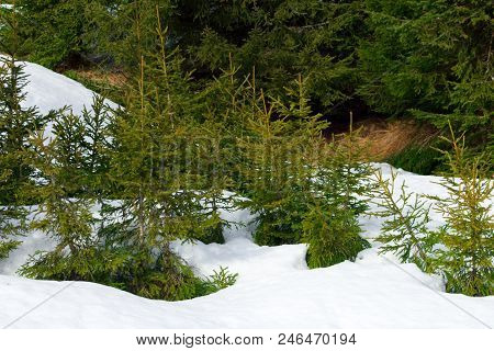 Small Coniferous Trees - Firs, Spruces On White Snow. Winter Landscape.view To The Winter Forest - C