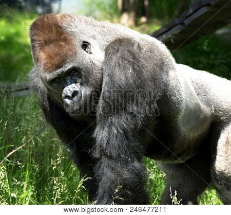 Portrait of a huge gorilla looking to the camera