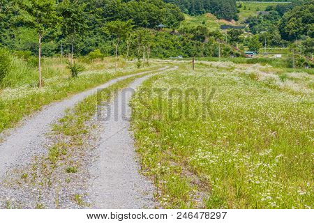 One Lane Gravel Road Through A Beautiful Field Of White Daisies In Woodland Park On A Sunny Afternoo