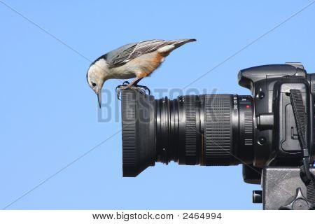 41 Wb Nutchatch auf Kamera Img 2680pn