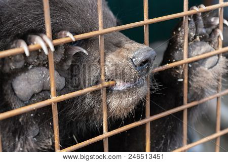 Angry Kamchatka brown bear (Ursus arctos piscator) keeps paws with large claws for an aviary lattice in the zoo and gnaws at it. poster
