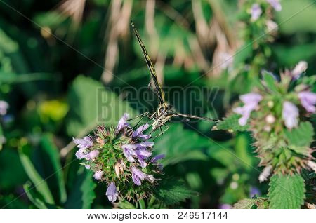 Butterfly On A Flower. A Colorful Butterfly Swallowtail Sits On A Flower In A Field. Butterfly Macha