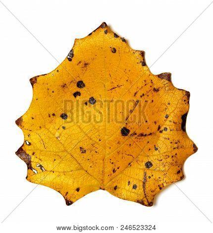 Autumn Yellow Quaking Aspen Leaf ( Populus Tremula ) With Holes. Isolated On White Background.