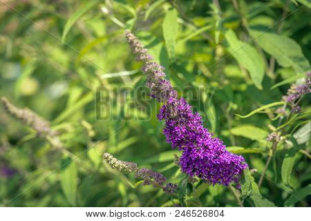 Closeup Of A Budding And Blooming Summer Lilac Or Buddleja Davidii Shrub. Ithe Image Was Taken On A