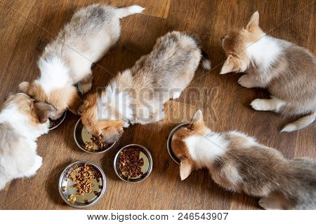Puppies Eating Food In The Kitchen From Bowls. Cute Puppy Eating Dog Food On Wooden Floor, Top View