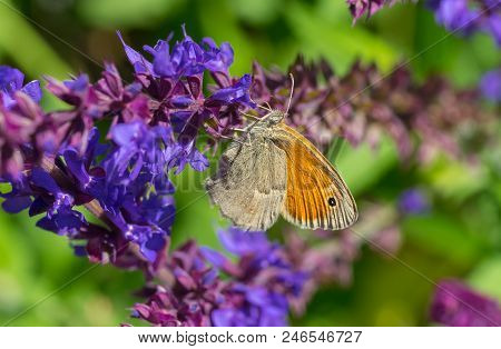 Meadow Brown (maniola Jurtina) Butterfly Sucking Nectar On A Wild Sage Flower