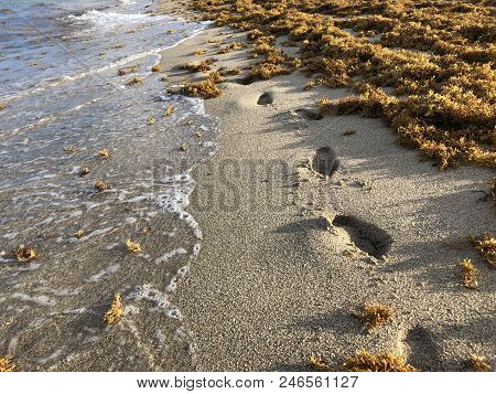 Waves Crash On The Shore Over Footprints As Thick Brown Sargassum Seaweed On The Shore Of Florida Be