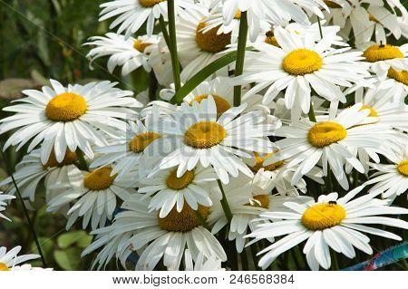 white chamomile flowers close-up