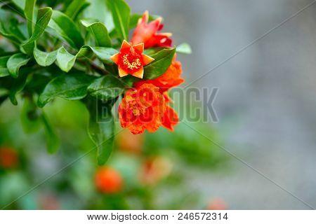 pomegranate flowers closeup