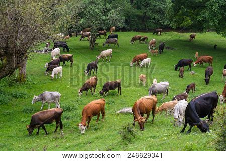 Bos Taurus. Cows Bulls And Calves. Cattle Are Raised As Livestock For Meat, For Milk, And For Hides.