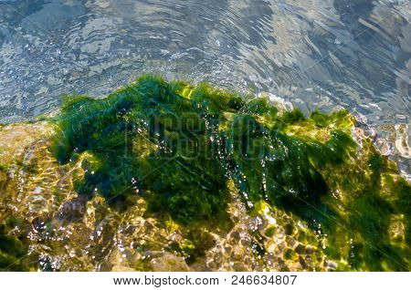 Stones With Green Algae In Clear Sea Water, Warm Summer Day