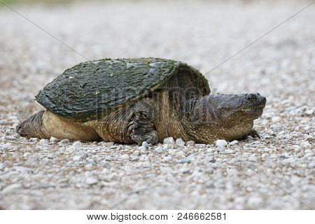 Female Common Snapping Turtle (chelydra Serpentina) Excavating A Nest - Ontario, Canada