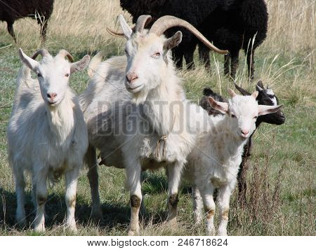 The Goat Family On The Pasture. Omsk Region Russia