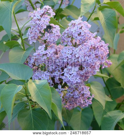 Lilac In The Garden, Omsk Region, Russia