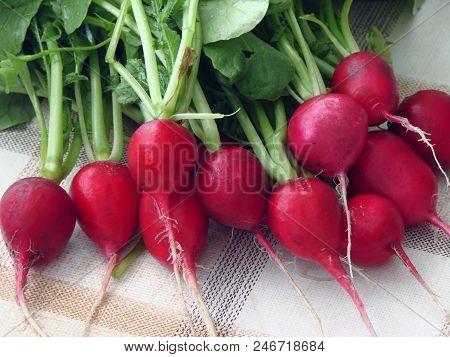Radish With Tops On The Table, Omsk Region, Siberia, Russia
