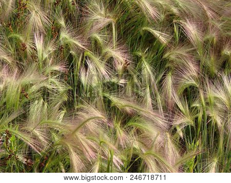 Feather Grass Of The Field, Omsk Region, Russia