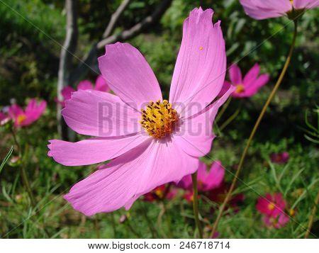 Flower Cosmos Of The Garden, Omsk Region, Siberia, Russia