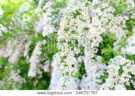 White flowers bloom in summer. Spirea japonica. Meadowsweet. Summer white flowers bloom. Branch white flowers. White buds. White flowers blurred background