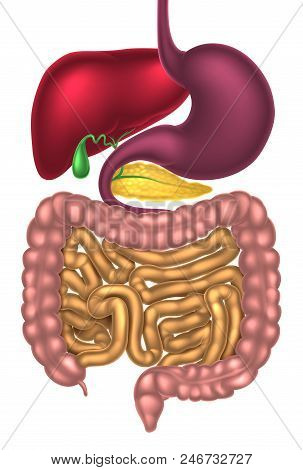 Human Digestive System, Digestive Tract Or Alimentary Canal