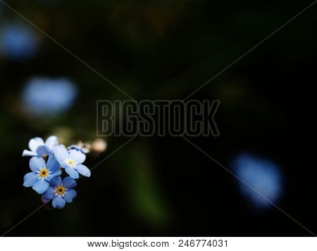 Forget-me-not, Gentle  Blue Flowers In Summer Garden.  Blue Little Flowers - Forget-me-not Close-up