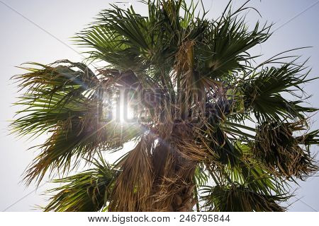 One tall green palm tree at Cyprus. Sunbeams through palm leaves, blue sky background, under close up view.