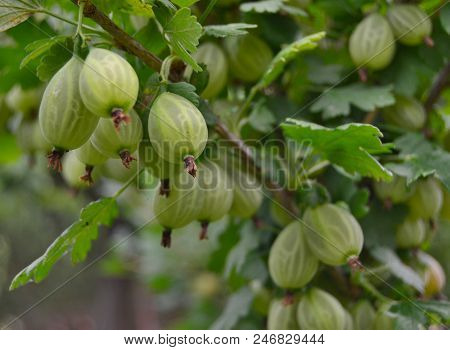 View Of Summer Fruits, Gooseberry, Southern Bohemia , Czech Republic