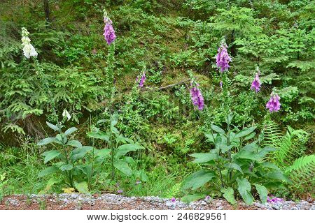 View Of Foxglove (digitalis Purpurea), South Bohemia, Czech Republic