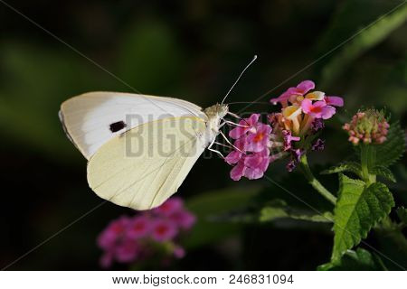 Close-up Of Yellow Butterfly On The Meadow Pink Flower. Photography Of Nature And Wildlife.