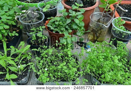 Assortment Of Seedlings In Planting Pots. Vintage Home Garden And Planting Objects, Botanical Still