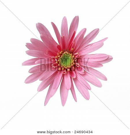 sweet pink daisy