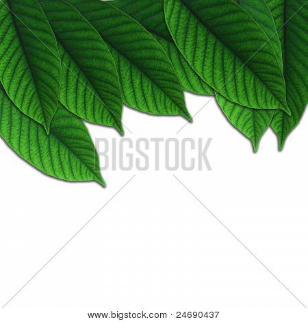 green leaf and white isolated background