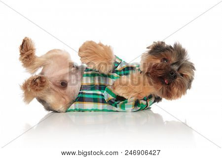 side view of adorable yorkie wearing elegant colored costume playing while lying on white background on side