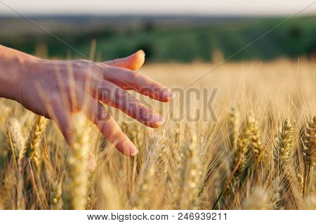 Female Hand Through The Wheat In Sunset
