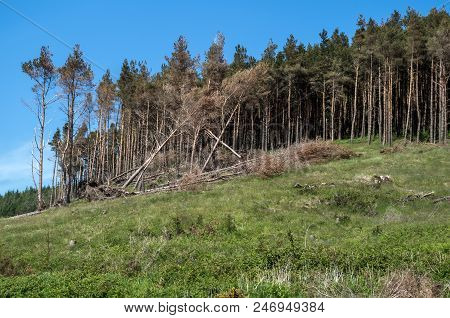 A Forest Damaged By High Winds Near Newcastle.